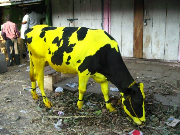 Holy Cow - Tumeric, Safron, Painted Divine Bovine